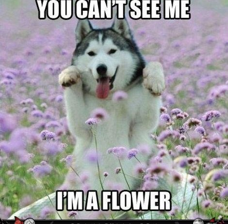 Some of the Funniest Husky Puppy Pictures!