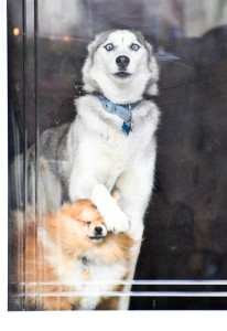 Some of the funniest husky pictures! - Jess Explains It All