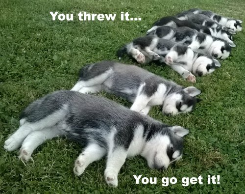 funny husky pictures. These guys are lazy