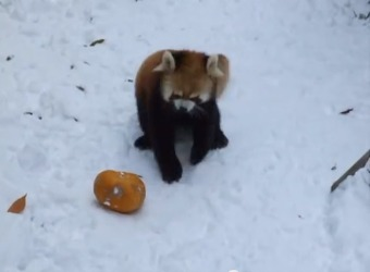 Red Pandas Go Crazy for Pumpkins!