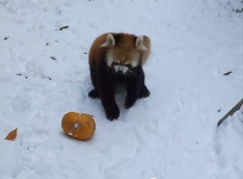 "Red Pandas Go Crazy for Pumpkins! - <a href=""http://jessexplainsitall.com/red-pandas-go-crazy-for-pumpkins/"">Jess Explains It All</a>"
