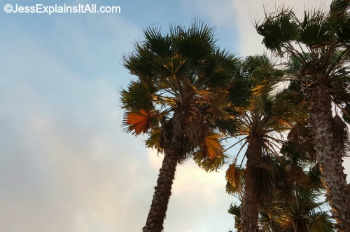 Palm trees in Redondo Beach, California