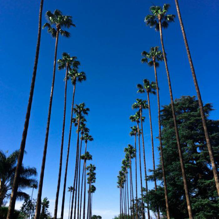 two rows of palm trees against a clear blue sky