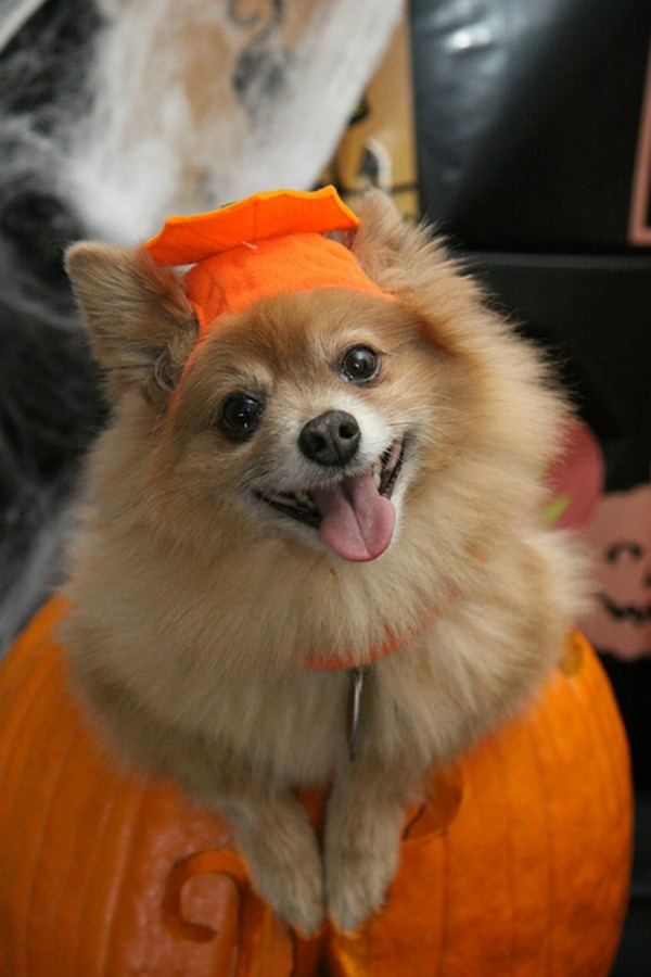 dog in a pumpkin