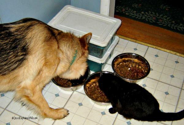 German Shepherd dog and black cat